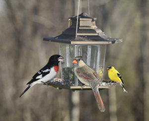 Male Rose Breasted Grosbeak Female Northern Cardinal and male American Goldfinch on a backyard bird feeder in Toronto